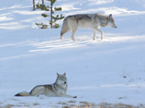 photo_two-wolves_timspringer_209.jpg