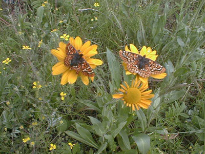 Sacramento Mountains checkerspot butterfly: Julie McIntyre, USFW