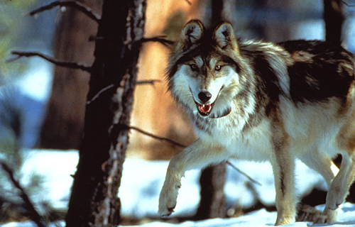 Mexican Wolf Photo FW Service