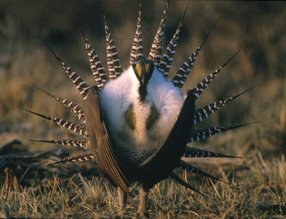 Gunnisons Sage Grouse photo credit Louis Swift