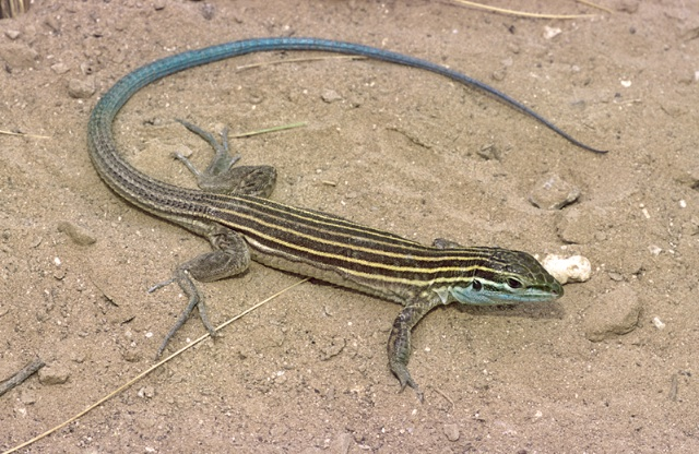 Arizona striped whiptail credit Erki Enderson