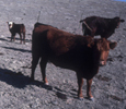 cows for public lands advocacy grazing page