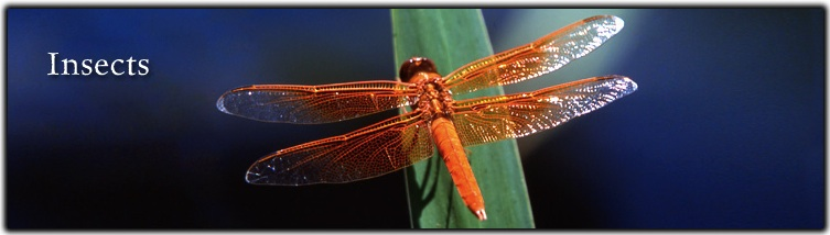 Insects Banner Dragonfly pc Evalyn Bemis
