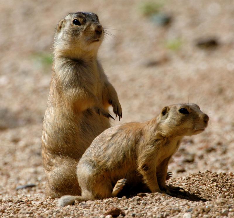 Gunnisons Prairie Dog
