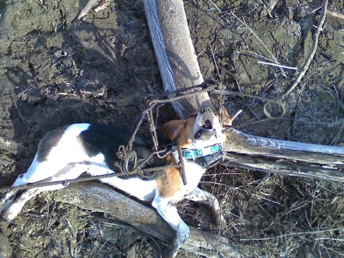 Dog caught in Conibear Kill Trap