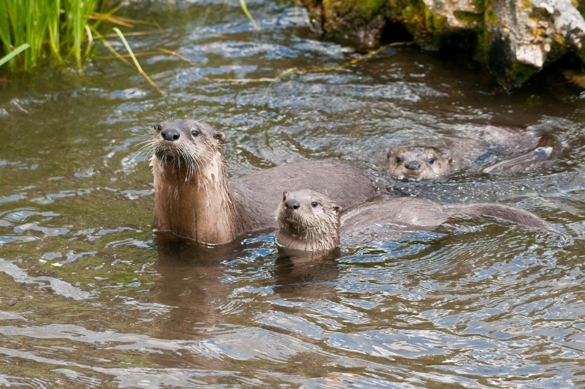 Otter Family pc Samuel R. Parks