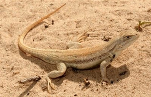 Sand dune lizard pc unknown