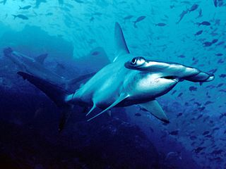 Scalloped Hammerhead Shark pc Barry Peters Wikimedia Commons