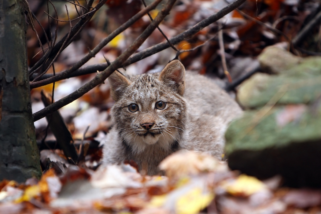 Canada lynx kitten pc Megan Lorenz AdobeStock