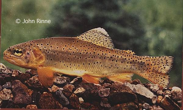Apache Trout pc John Rinne