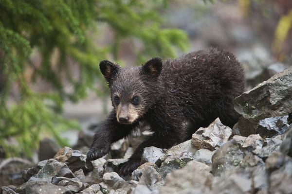Black Bear Cub pc Sam Parks