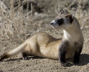 Black-footed ferret: Ryan Hagerty, USFWS