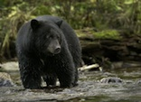 Black Bear pc Ray Rafiti