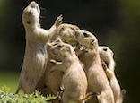 Black tailed prairie dogs: Sandy Nervig
