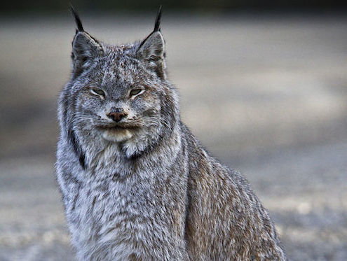 Canada Lynx NPS Jacob W. Frank cropped