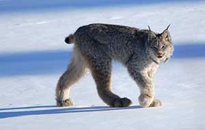 Canada Lynx pc Keith Williams CC_Flickr-web