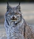 Canada Lynx pc NPS Jacob W Frank