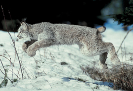 Canada lynx pc Photos.com