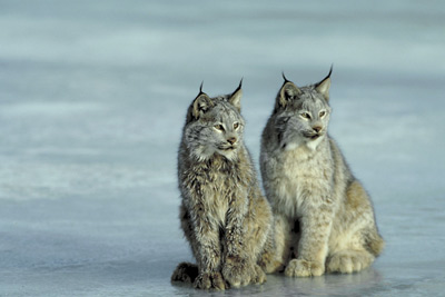 Canadian lynx pc Photos.com