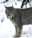 Canadian_lynx_pc_USFWS