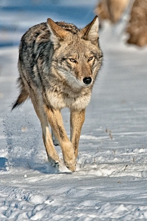 coyote coming small pc Dick Vogel