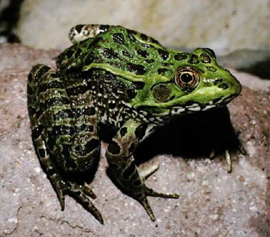 Chiricahua leopard frog pc Jim Rorabaugh