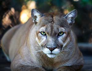 Cougar-pc-Getty-Images.jpg