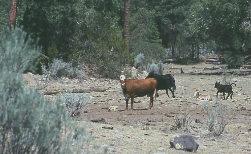 cows grazing in Gila pc Mike Hudak