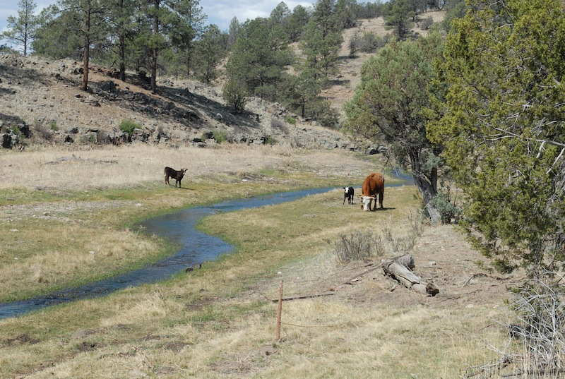 Rogue cows in Gila riparian area pc Bryan Bird
