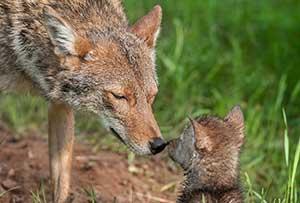 Coyote-mom-and-pup-pc-Holly-Kuchera.jpg