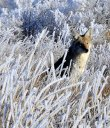 Coyote_in_Snow_pc_Tom_Koerner_USFWS.jpg