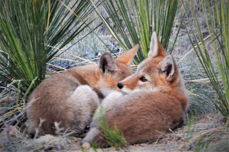 Coyote pups June 2017 001 pc Erich Brock