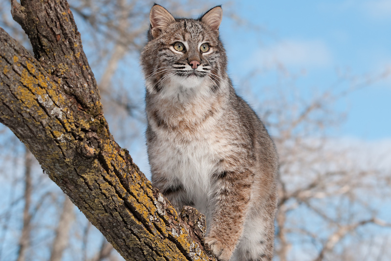 bobcat pc dollarphotoclub.com