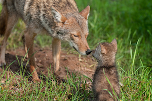 coyote and pup pc dollarphotoclub