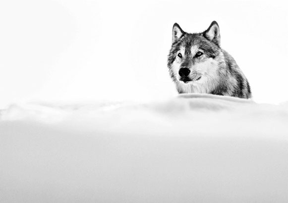 Focused Wolf picture
