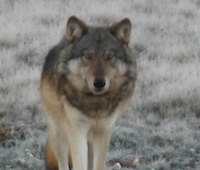 Grand Canyon wolf small
