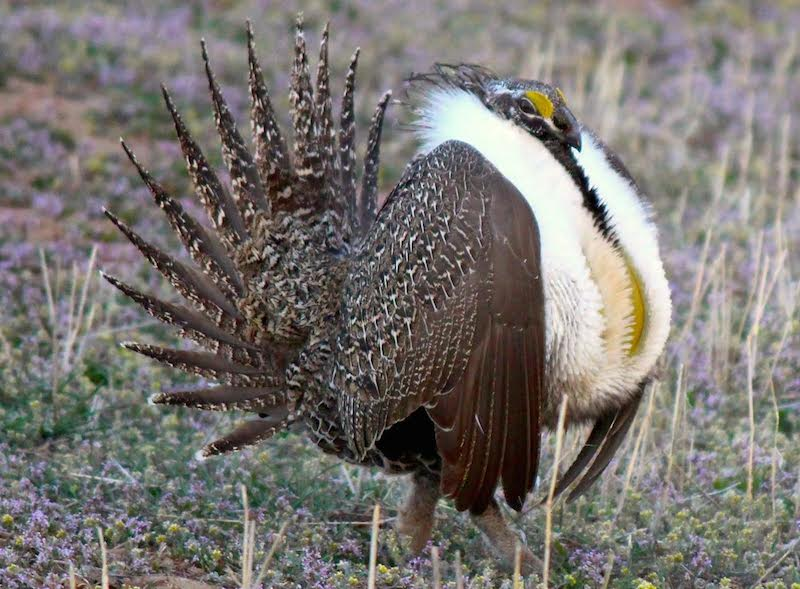Greater sage grouse pc Bethany Cotton