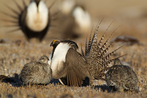 Gunnison Sage Grouse pc Noppadol Paothong