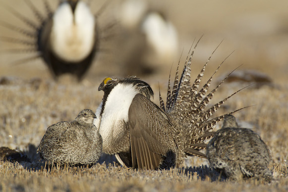 Gunisson sage grouse females with male 581px Noppadol Paotho