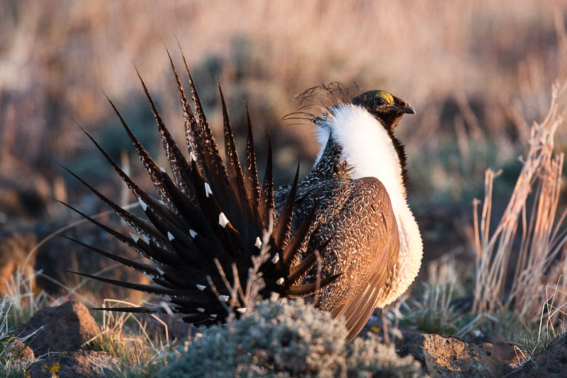 Greater Sage Grouse photo credit Robert Lewis