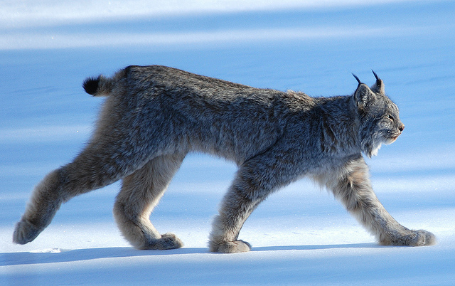 Canada Lynx pc Keith Williams