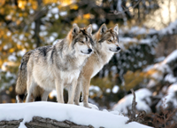Mex wolves bright pc Steve Geer istock