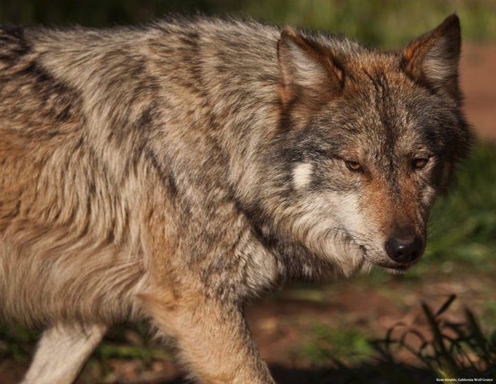 Mexican wolf strolling pc Kent Struble