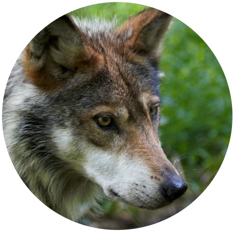 Mex_wolf_circle_Wolf_Conservation_Center10