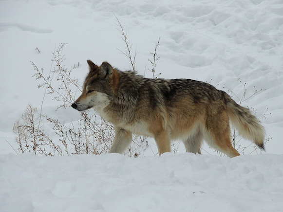 Mexican wolf pc John W Iwanski CC Flickr