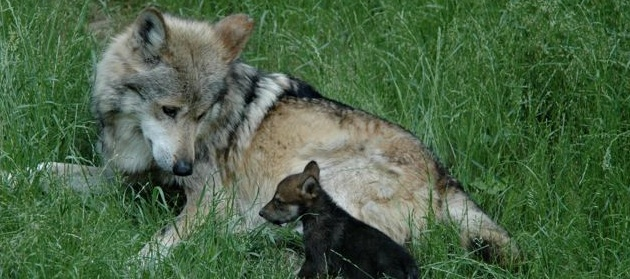Mexican wolf and pup horizontal 1 pc Cincinnati Zoo