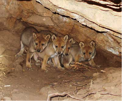 Mexican wolf pups Interagency Field Team