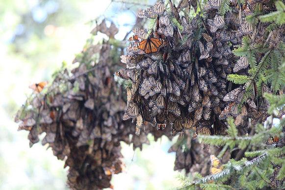 monarchs pc Bethany Cotton