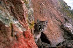 mountain lion pc USFWS