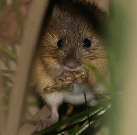 an analysis of the animal meadow jumping mouse Survey for preble's meadow jumping mice (zapus hudsonius preblei)  we observed 35793 total animal captures per 1000 net  preble's meadow jumping mouse,.
